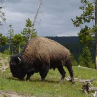 American Indians welcome the return of the bison