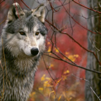 Rockies' wolves population keeps growing despite hunting