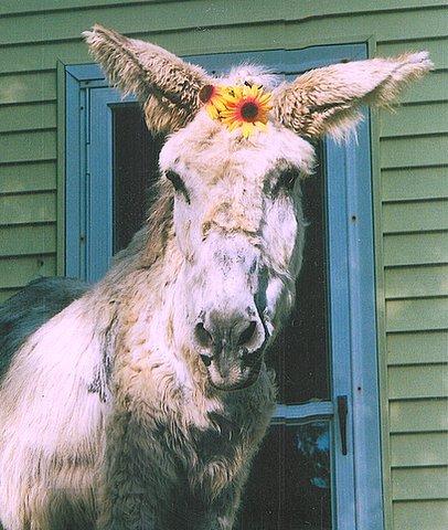 MI Turning Pointe Donkey Rescue - Annie Oakley